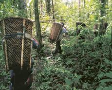Personas cargando frutos naturales en la selva